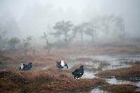 09.04.2009.Black Grouse (Tetrao tetrix) displaying on a bog. Lekking behaviour. Courting. Foggy morning..Bergslagen, Sweden.