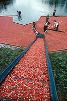 Cranberry harvest with conveyor Warenham MA