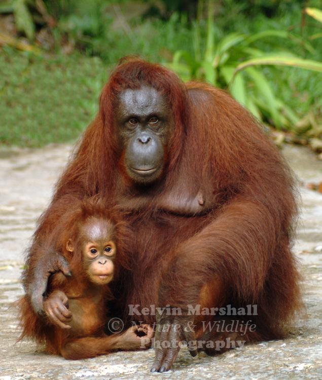 Bornean orangutans baby - photo#8