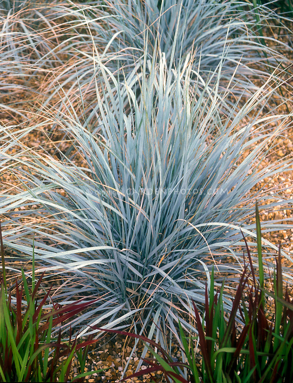 Elymus magellanicus ornamental blue wheat grass plant for Small blue ornamental grass
