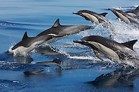 common dolphins photos