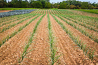 A farm field of organically grown onions in straight rows, in newly cultivated spoil, bordered by a pathc of broccoli.