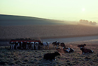 Fantasy,  Early morning sunrise dairy cows cattle resting in green frosty field.