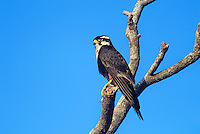527550009 a wild female aplomado falcon falco femoralis perches on a dead tree snag on a private ranch in tamaulipas state mexico - species is endangered
