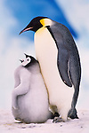 Emperor penguin with chick, Antarctica