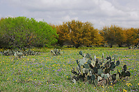 Wildflower field with Texas Prickly Pear Cactus (Opuntia lindheimeri) Huisache tree (Acacia farnesiana) Squaw Weed (Senecio ampullaceus)Texas Bluebonnet (Lupinus texensis),Three Rivers, Live Oak County, Texas, USA, March 2007