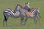 Plains Zebra (Equus quagga) Family, Serengeti National Park, Tanzania, Africa