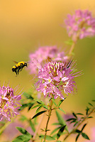 320750005 a wild golden northern bumblebee bombus fervidus prepares to land on a rocky mountain bee plant cleome serrulata in southern utah