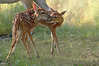 White-tailed fawns (Odocoileus virginianus) in a display of affection.