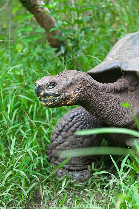 Wild Galapagos tortoise in the highlands of Santa Cruz island, Galapagos Islands, Ecuador.