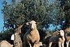 Ewe with lamb on olive terrace in Majorca<br /> <br /> Oveja y cordero en una terasa de olivos en Mallorca<br /> <br /> Mutterschaf mit Lamm auf einer Oliventerrasse in Mallorca<br /> <br /> 1870 x 1246 px<br /> Original: 35 mm slide transparency