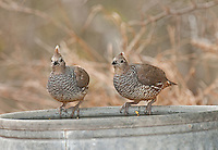 574560032 a pair of wild scaled quail callipepla squamata perch on a trash can lid to drink water at falcon dam state park rio grande valley texas united states