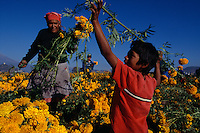 Families work at sunrise to pick flowers for Day of the Dead celebration. The pickers harvest zempazuchitl and other flowers for 8 pesos for a Maleta. The woman picker works with her grandson, one of 25 grandchildren.  She sells snow cones and fried snacks in Atlixco in other seasons. <br />