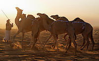 A trainer lines up camels in the early morning for the competition.  Cars that will be prizes for winning camels line the parking area outside the camel contest.  Often the camel owners are so wealthy that they keep the plaque but give the car to the camel trainer<br /> An hour outside of Abu Dhabi the Al Dhafra Festival put on by the Abu Dhabi Authority for Culture and Heritage is under the patronage of His Highness General Sheikh Mohammed bin Zayed Al Nahyan.