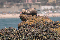 A harem of California Sea Lions (Zalophus californianus) lay on a