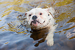 Bulldog mix swimming in a stream