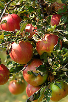 Badascony, BaApple tree - Badascony, Balaton, Hungarylaton, Hungary