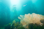 Catalina Island, Channel Islands, California; California Golden Gorgonians (Muricea californica) grow on the rocky reef at the base of a forest of Giant Kelp (Macrocystis pyrifera), while three Blacksmith (Chromis punctipinnis) fish swim overhead