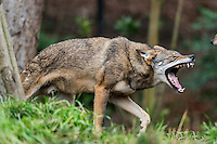 Red Wolf (Canis lupus rufus) being aggressive towards another wolf just out of photo.  Highly Endangered Species.  Found primarily in the Southeastern United States.  This photo taken at one of several captive breeding facilities for Red Wolves.