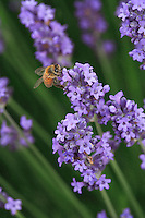 Looking for nectar in the tiny flowers of Lavandula intermedia. A bee can visit up to 700 flowers to fill its crop with 70 milligrams of nectar. The bees of a colony can visit up to 21million flowers a day. This figure makes it one of the best pollinators on Earth.