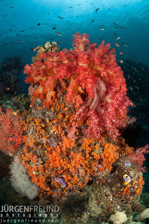 Soft corals. Misool, Raja Ampat, West Papua, Indonesia,  January 2010