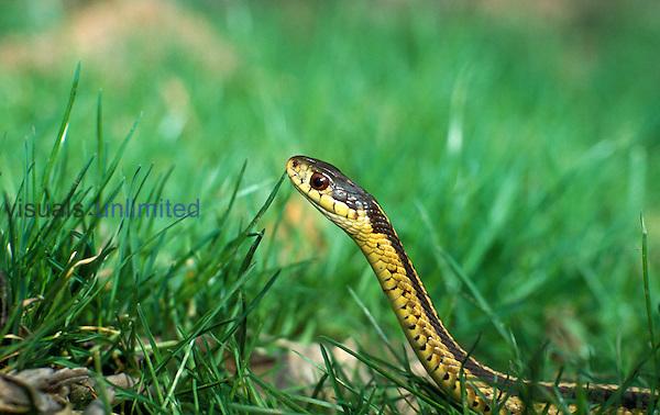 Eastern Garter Snake ,Thamnophis sirtalis sirtalis, in grass