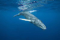 Absolutely beautiful humpback whale diving. (Photo by Underwater Photographer Matt Considine)