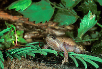 480070006 a wild great plains narrowmouth toad gastrophryne olivacea sits in green vegetation near a pond in the rio grande valley of south texas
