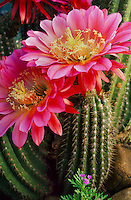 Echinopsis &lsquo;Flying Saucers&rsquo;