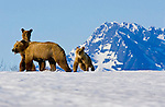A sow brown bear and her two cubs work their way down the frozen Copper River Delta during the spring after emerging from their den, in search of food.