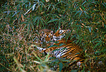 Tiger and cub, India