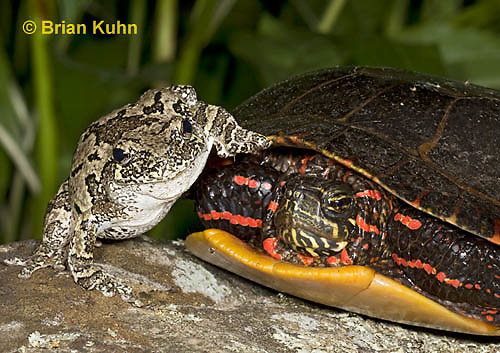 1R24-9071  Eastern Gray Treefrog - with painted turtle - Hyla chrysoscelis or Hyla versicolor,  © Brian Kuhn/Dwight Kuhn Photography