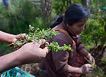 Women being trained as agricultural promoters study plants at an eco-agricultural training center in Comitancillo, Guatemala. The center is sponsored by the Maya Mam Association for Investigation and Development (AMMID).