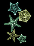 X-ray image of margined sea stars (greens on black) by Jim Wehtje, specialist in x-ray art and design images.