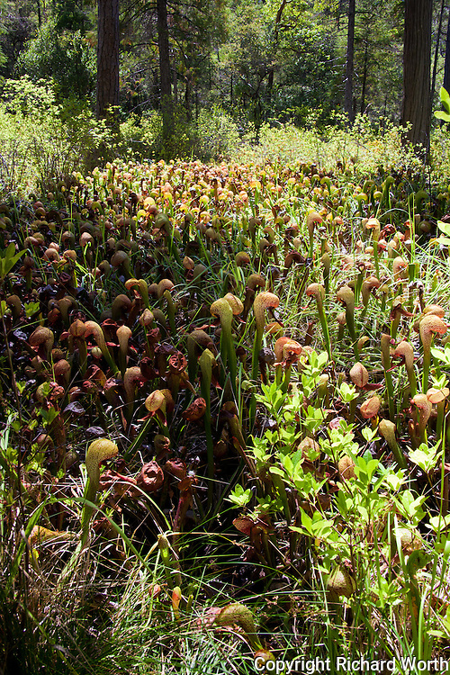 One view of the cobra lilies from a platform at the Darlingtonia Trail.