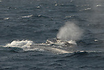 blue whales surface