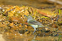 590770011 a migrating white-eyed vireo vireo griseus drinks at a small waterhole in the rio grande valley texas