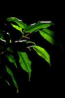 Piante.Plants.Ficus Benjamin...