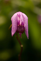 Bletilla striata Reichb. fil. , blooming in Shinjuku Gyoen Park, Tokyo, June.