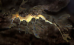 Leafy Sea Dragon, Australia, Phycodurus eques, captive.Australia....