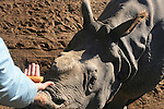 Feeding carrots to a White Rhinoceros.