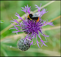 BNPS.co.uk (01202) 558833<br /> Picture: PhilYeomans/BNPS<br /> <br /> Knapweed.<br /> <br /> Long hot summer a boost for the bee man of Salisbury Plain.<br /> <br /> One of Britains last wilderness area's is a hive of activity this summer as an army of busy bees swarm across Salisbury plain in Wiltshire.<br /> <br /> Major Chris Wilkes commands an astonishing 8 million bees in 150 hives dotted across the unique enviroment of the plain. The chalkland host's an amazingly wide range of rare wildflowers as 60,000 acres of SSSI have never been treated with modern pesticides.<br /> <br /> The wet winter and dry spring have produced perfect conditions for the diverse flora of the grasslands, with the isolation of the plain creating a cornucopia of the top nectar flowers in the UK  producing a honey with the distinctive flavour of one of Britains last wilderness areas.