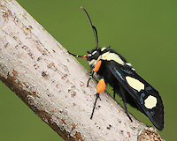 """Very few moths can compare with the beautiful day-flying Eight Spotted Forester (Alypia octomaculata). They are relatively small with only a 1 1/2 inch wingspan, but what they lack in size they more than make up for in eye appeal."""""""