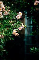 Rosa Penelope growing on a pergola