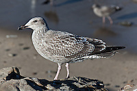 An immature Western gull, one of the many gulls and other scavengers helping the process along at Bean Hollow State Beach where a dead blue whale washed ashore in early October, 2010.