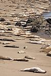San Simeon, California; Northern Elephant Seal (Mirounga angustirostris), juveniles and adult females on the beach to molt in April