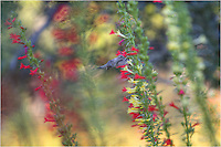 Hummingbirds can be quite territorial. The little birds that zoom around our property in the Texas Hill Country certainly are. This Texas Wildflower Image features a hummingbird soaking up the nectar from a Standing Cypress plant, also called Texas Star. Red Texas Star are pretty common. Yellow Texas Star are a much rarer form of this Texas Wildflower