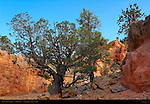 Junipers, Cassidy Trail, Red Canyon, Dixie National Forest, Utah