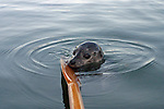 harbor seal up close & personal playing with an oar of a small rowboat on a calm evening near sunset in Nelson Bay in the San Juan Islands