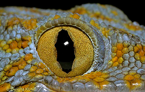 GK05-002a Tokay Gecko eye slit  Gekko gecko